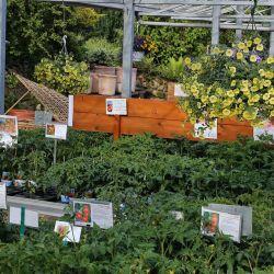 Tomatenpflanzen-Wolfsburg